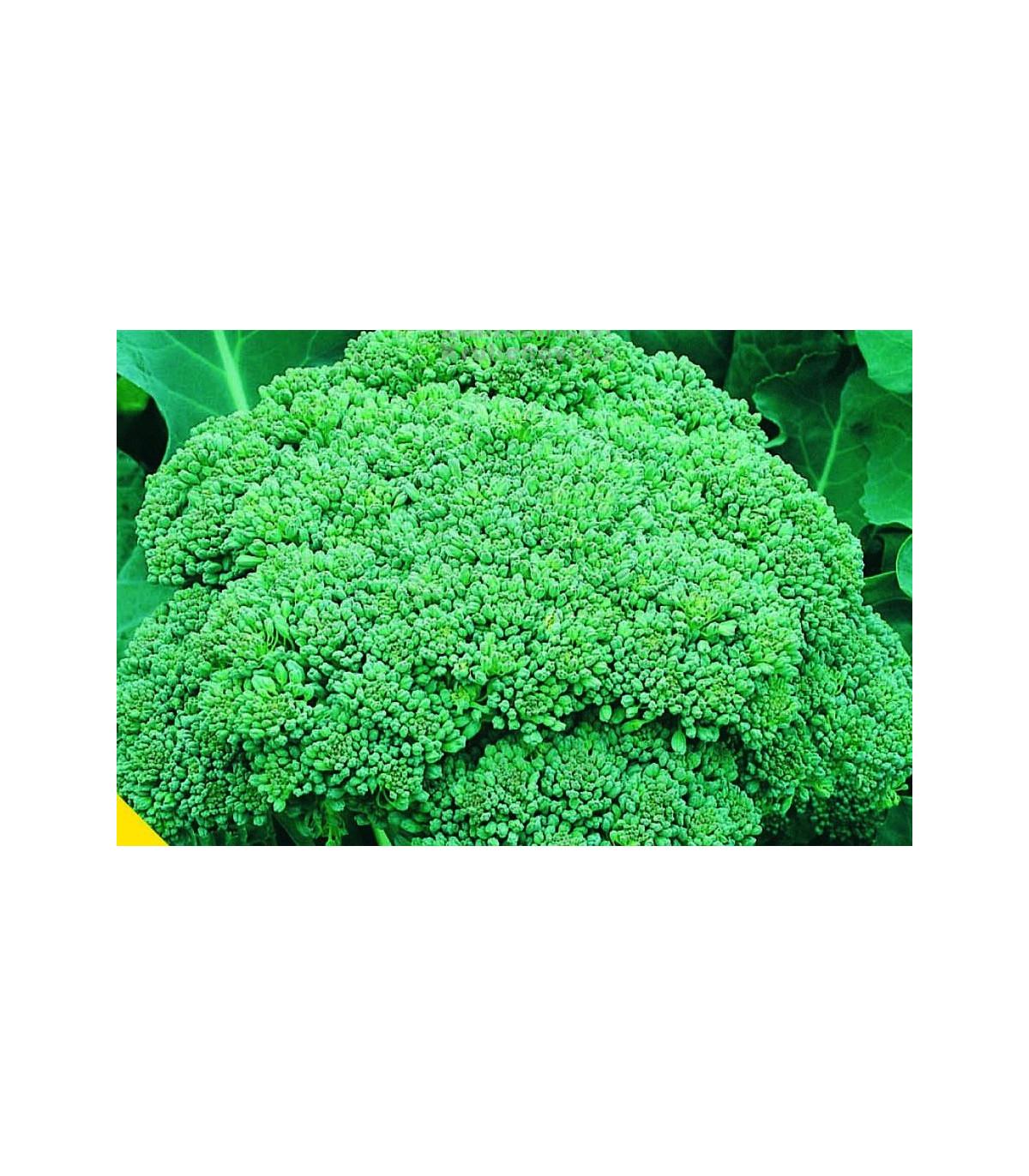 Brokolica Calabrese - Brassica oleracea L. - semená - 180 ks