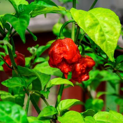 Chilli Carolina Reaper - najštipľavejšie chilli sveta - Capsicum Chinenses - semená - 5 ks