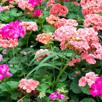 Muškát záhradný Cabaret F2 zmes - Pelargonium hortorum - semená - 6 ks