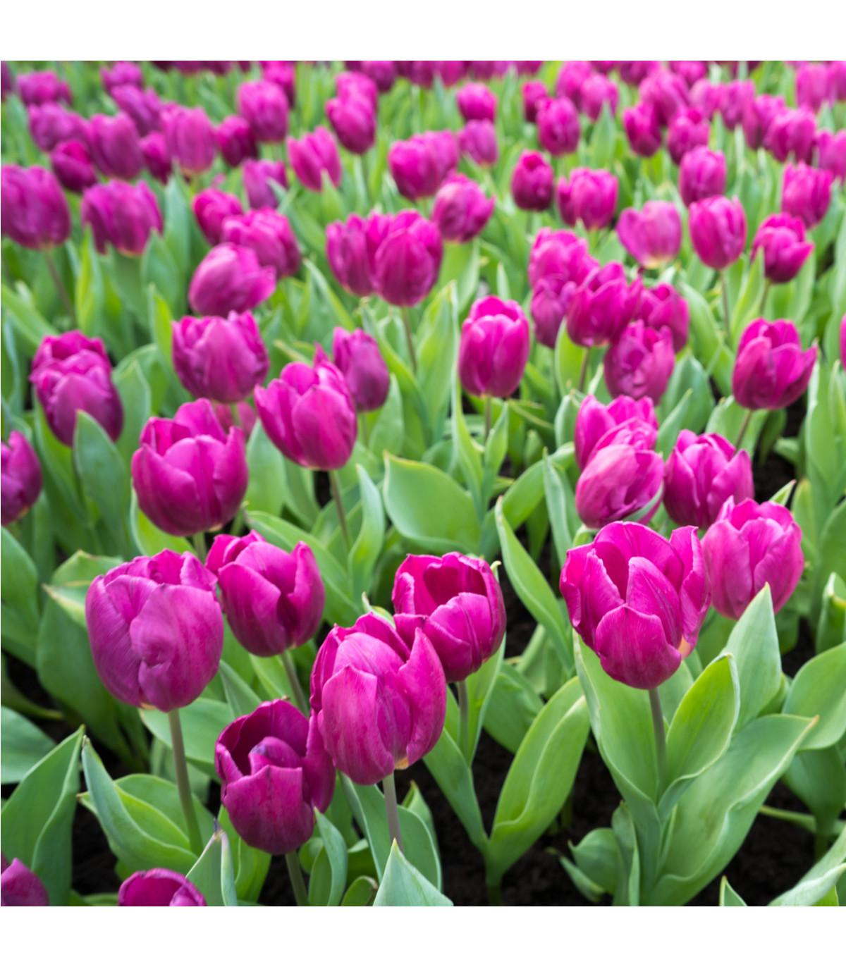 Tulipán Purple Flag - predaj cibuľovín - holandské tulipány - 3 ks