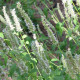 Yzop lekársky biely - Hyssopus officinalis - semená yzopu - 0,1 gr