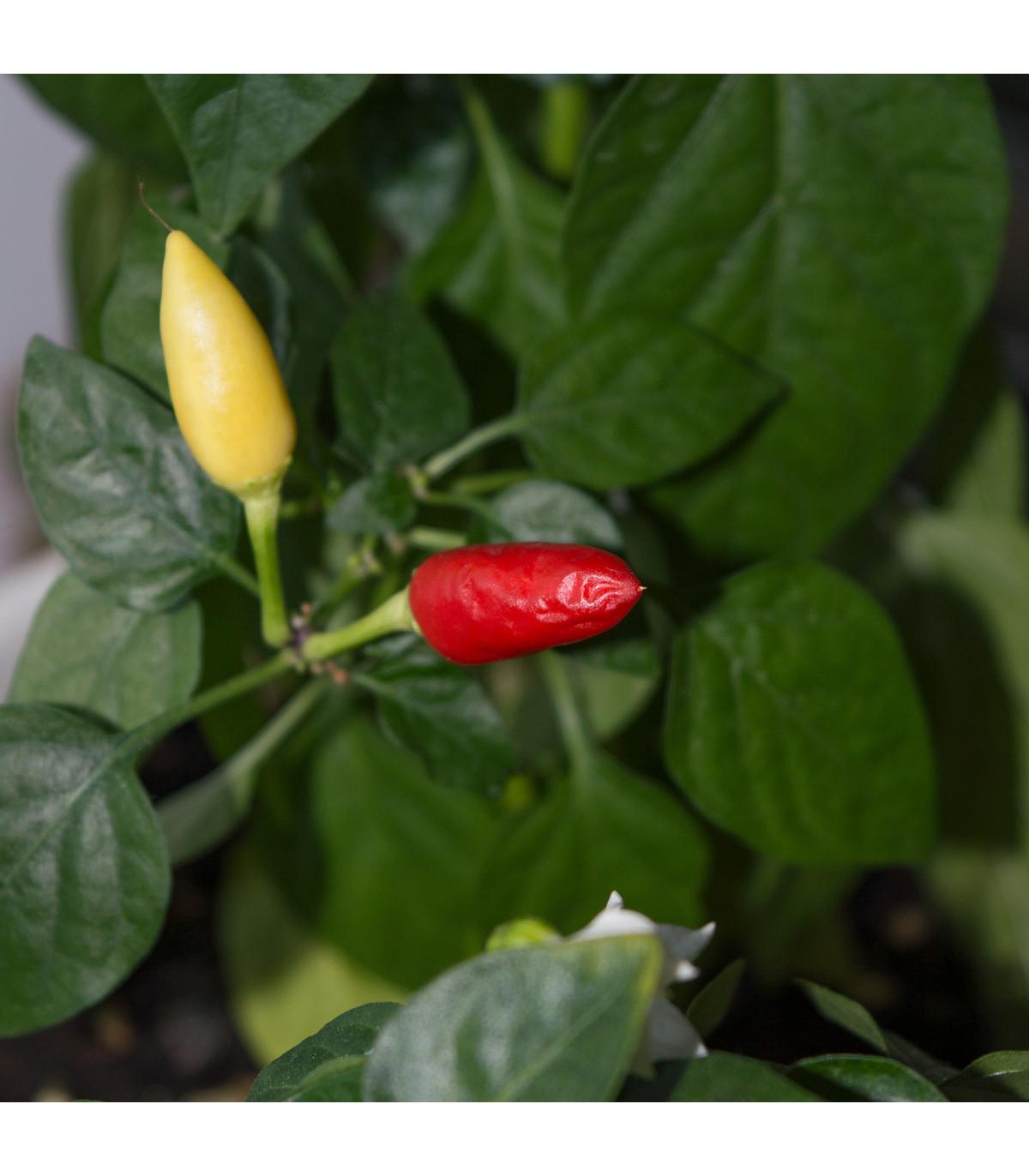 Chilli Little Elf - Capsicum Chinense - semená - 6 ks