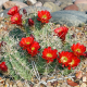 Kaktus Kingcup - Echinocereus triglochidiatus - semená - 8 ks