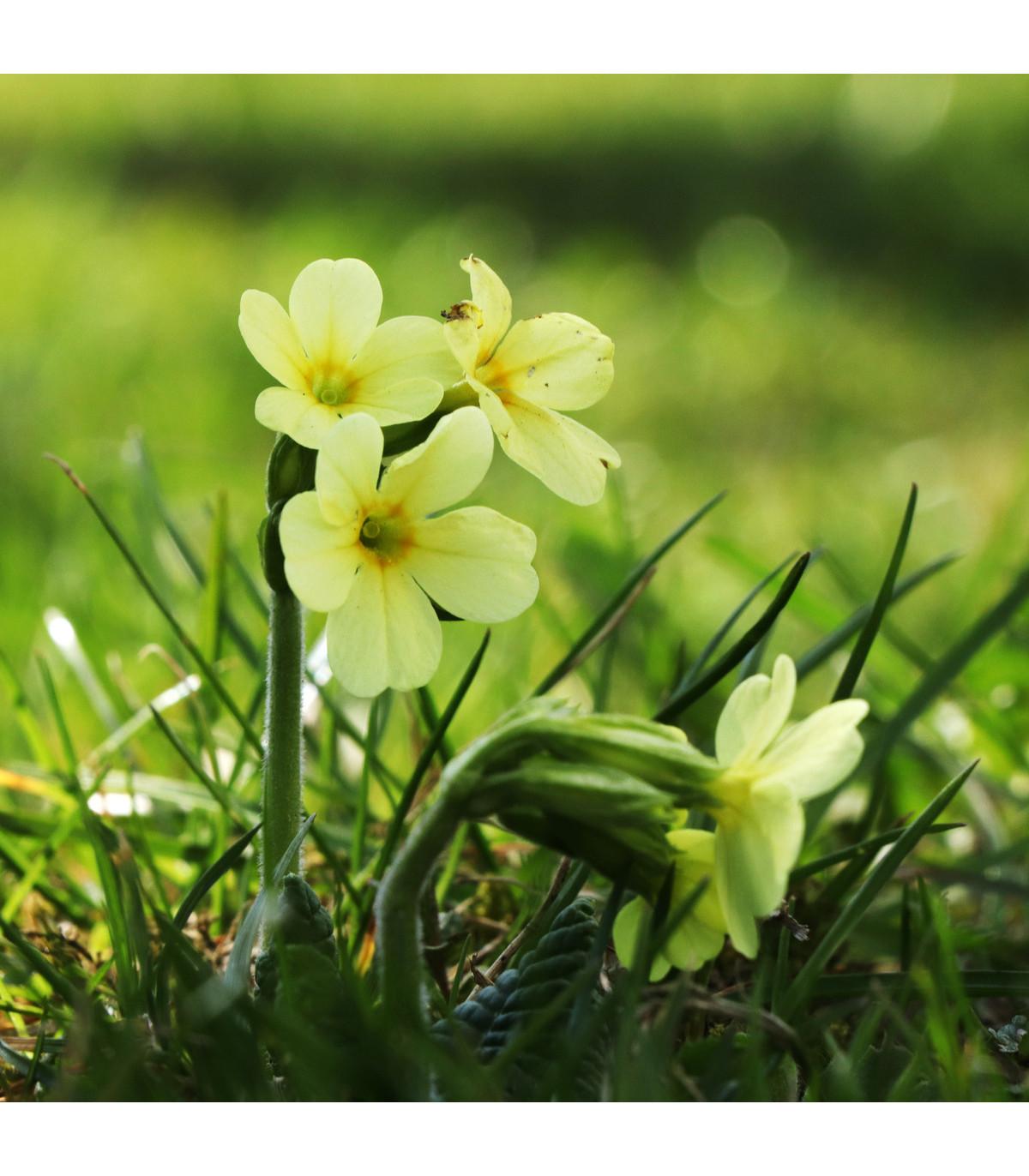 Prvosienka vyššia Oxlip - Primula elatior - semená