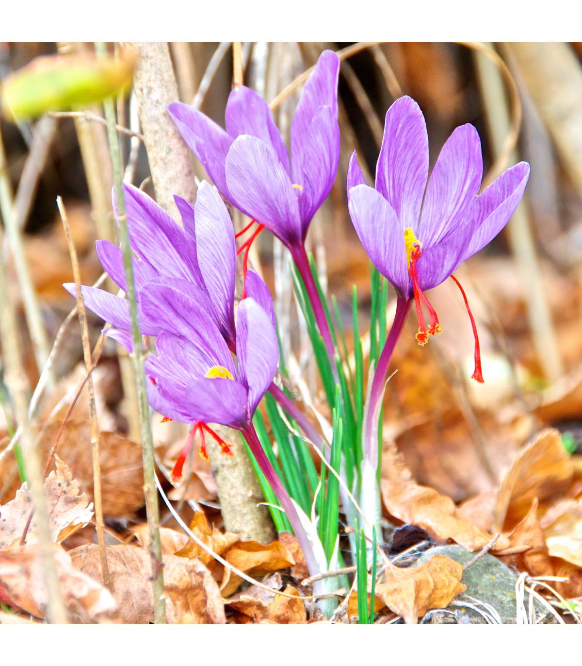 Krókus siaty - šafrán - Crocus sativus - cibuľky krókusu - 3 ks