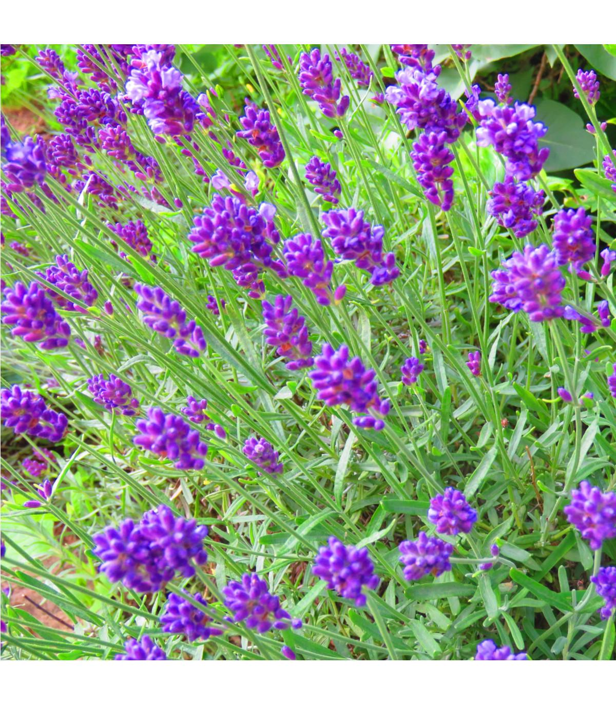 Levanduľa lekárska fialová - Ellegance purple - Lavandula angustifolia - semená levanduľa - 15 ks