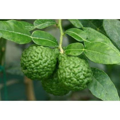 Citrónovník tŕnitý - Gáfrová limetka - Citrus hystrix - semená limetky - 3 ks