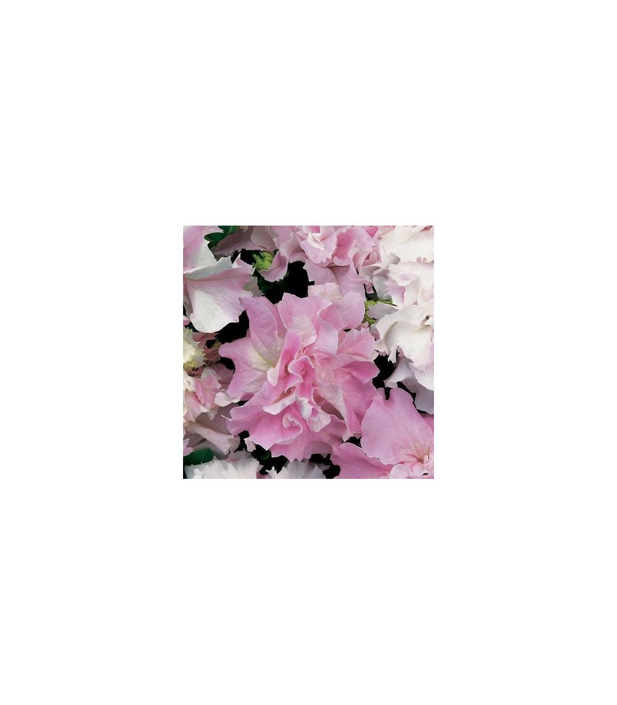 Petúnia Pirouette F1 Zmes farieb - Petunia grandiflora - Predaj semien petúnie - 20 ks