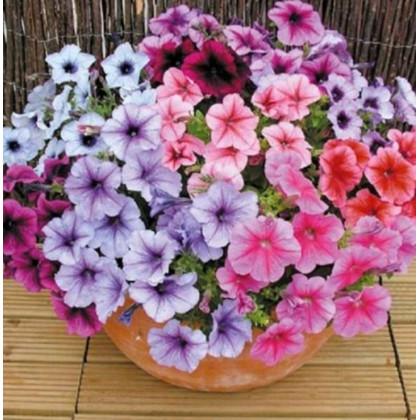 Petúnia Superbissima - zmes - Petunia nana compacta - Semená - 20 ks