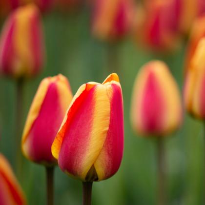 Tulipán Apricot Foxx - Tulipa - cibuľoviny - 3 ks
