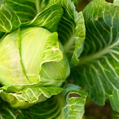 BIO kapusta biela Filderkraut - Brassica oleracea - bio semená kapusty - 50 ks